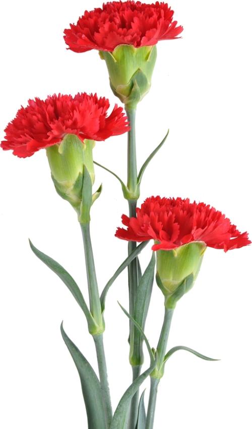 Flowercarnations_blog_ss_61866