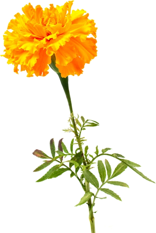 Flowermarigold_blog_ss_6198174