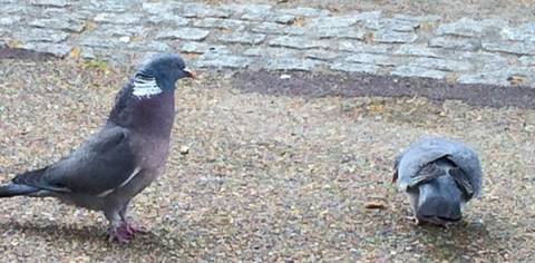 Mr Pigeon advances on Ms Pigeon